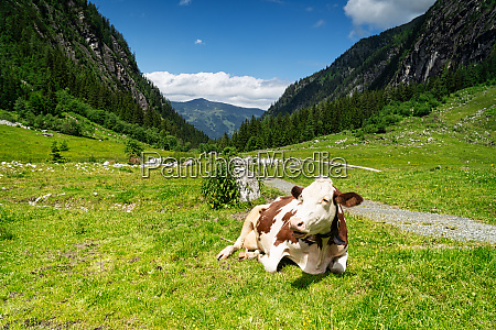 dairy cattle on pasture