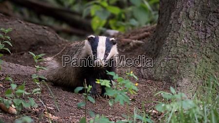 european badger standing in forest in