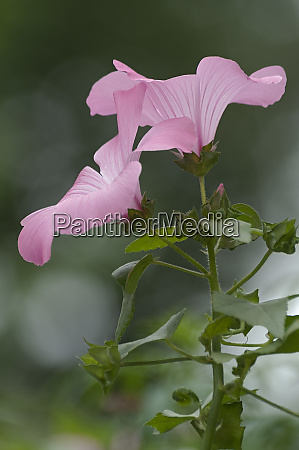annual mallow flowers