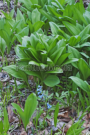 close up image of ramsons plants