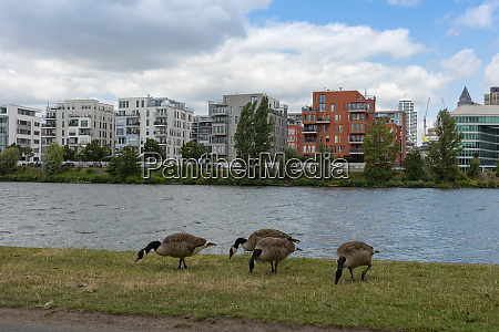 canada geese on the banks of