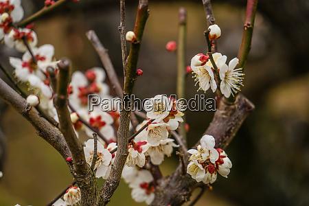 plum image