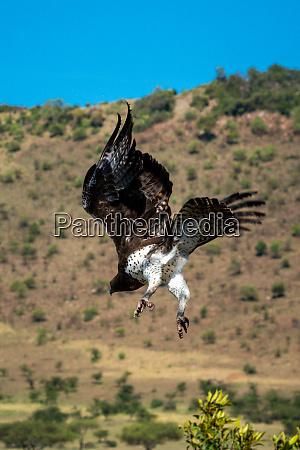 martial eagle flies down with ridge