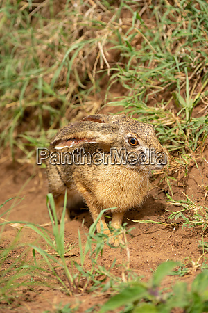scrub hare stands in grass eyeing