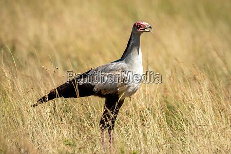 secretary bird stands in grass in