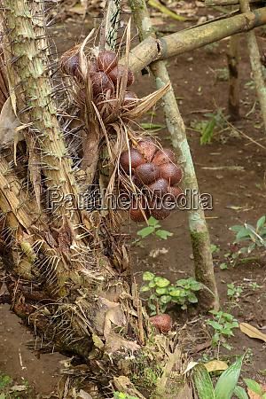 a bunch of tropical salak fruits