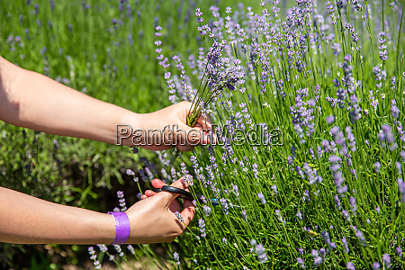 woman hand picking lavender