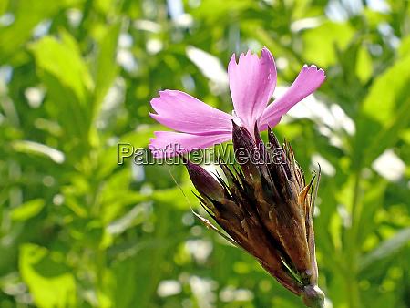 carthusian pink medieval medicinal herb of