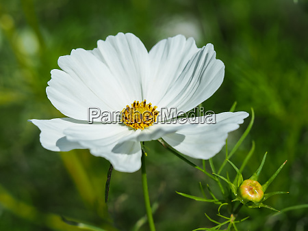 pure white cosmos flower in a