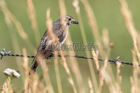 european pied flycatcher ficedula hypoleuca