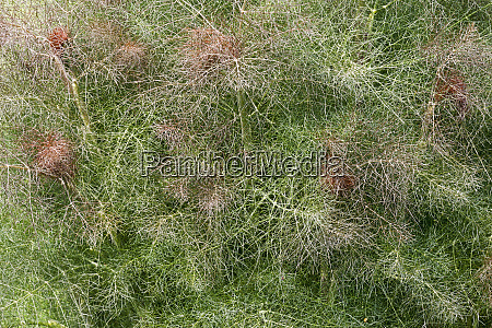 close up image of smokey fennel