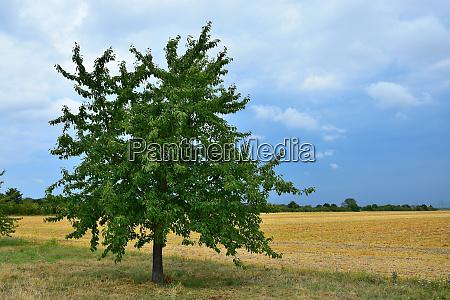a cherry tree
