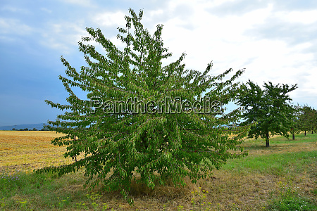 a cherry tree suffering from dryness