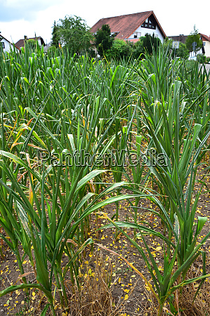 corn plants suffering from dryness