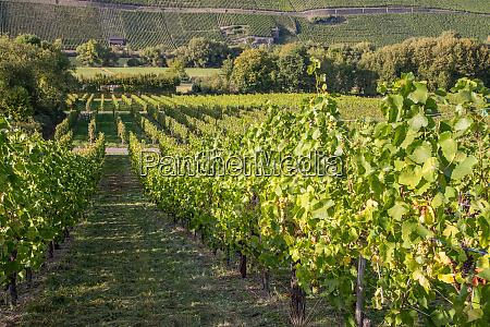 vineyard in brauneberg on river moselle