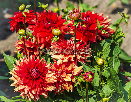red dahlia flowering plants with buds