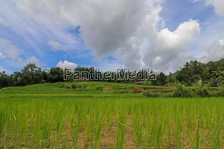 jatiluwih rice terraces rice paddies in