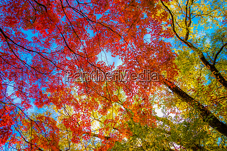 autumn leaves of inokashira park inokashira