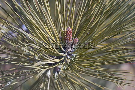 ponderosa pine trwig with young needles