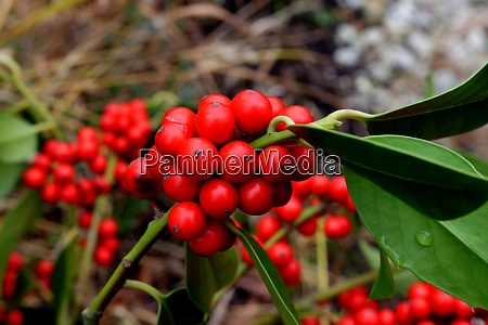 red berries from christmas holly