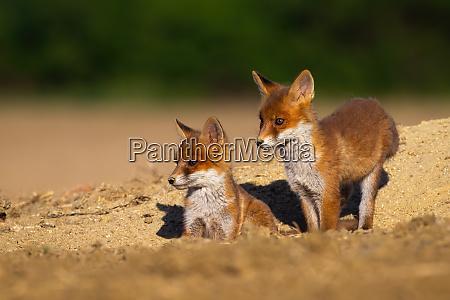 red fox siblings standing on den