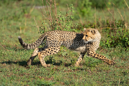 cheetah cub runs over grass looking