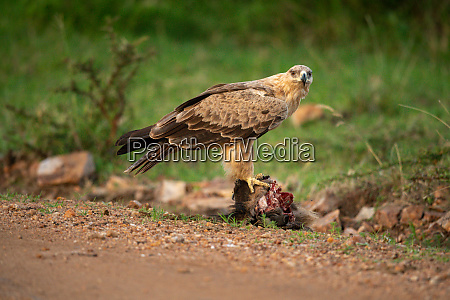 tawny eagle stands on carrion watching