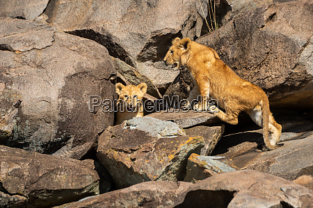 two lion cubs stand on sunlit