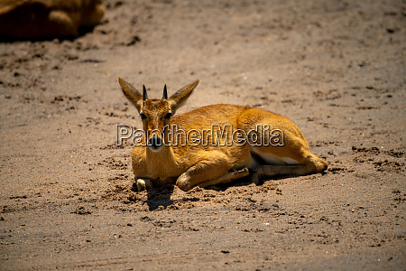 young male reedbuck lies on sandy