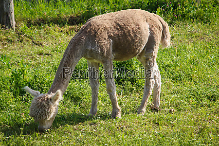 just shorn alpacas on a pasture