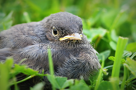young black redstart on green background