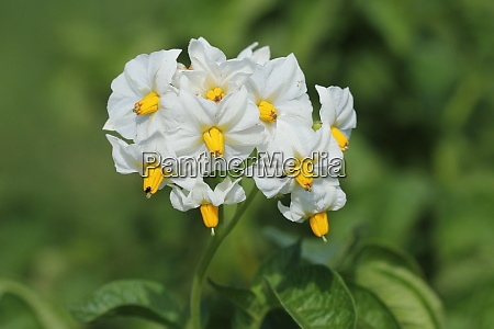 blossom of potatoe flowers in the