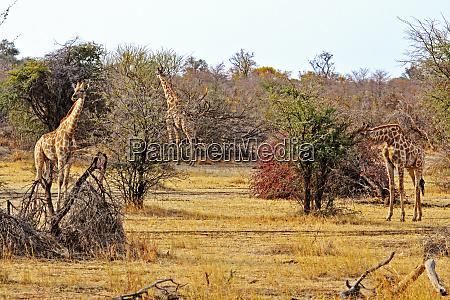 giraffes ingesting food in mahango park
