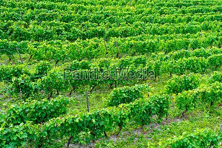 vineyards with vine plants in hessen