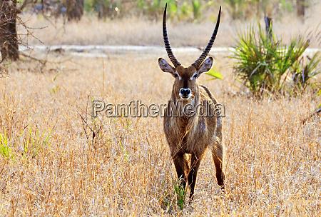 waterbuck in gorongosa national park in