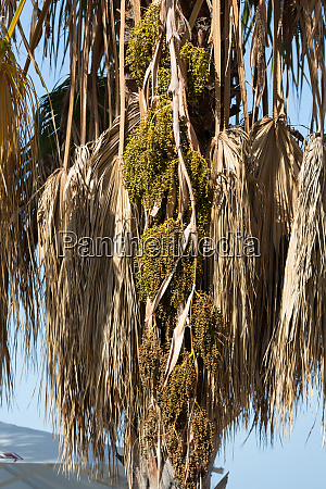 seed head of bangalow palm archontophoenix