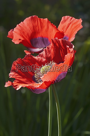 close up image of opium poppy