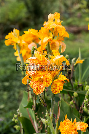 blossoms of a yellow gladioli in