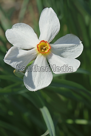 close up image of poet daffodil