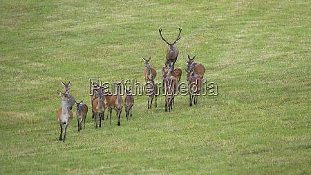 dominant red deer stag following herd