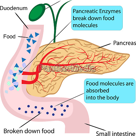 pancreatic role and functionin digestion process