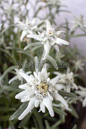 edelweiss, flower - 28667045