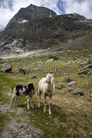 sheep - 28667051