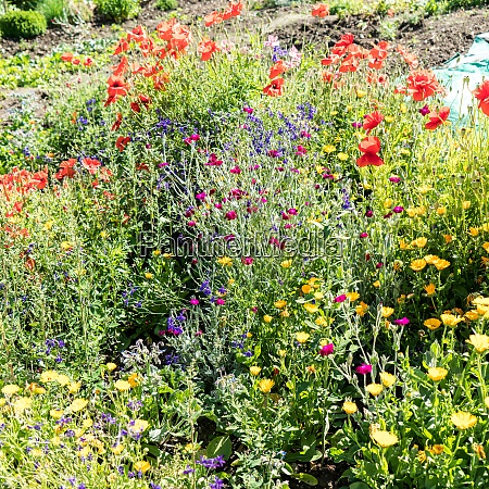 flower bed poppies and wild flowers