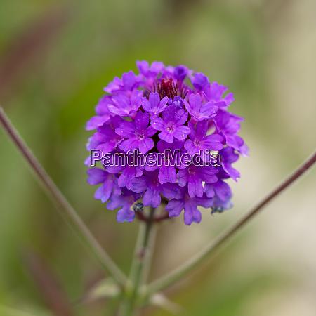 pretty purple verbena flowers variety santos