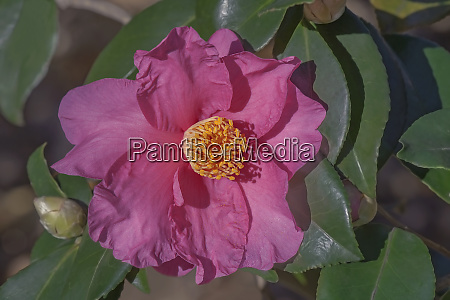 winters fire hybrid camellia flower