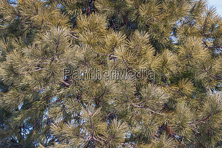 close up image of ponderosa pine