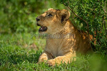 close up of lion cub lying