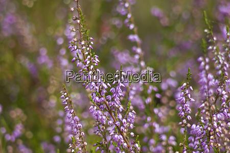 blooming heather in national park maasduinen