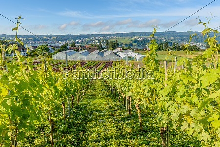 vineyards and vegetable fields on reichenau